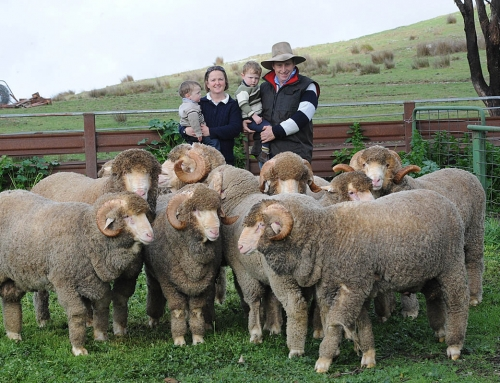 At Grassy Creek Merino stud fleece weight is one key to profitability
