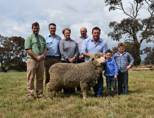 Grassy Creek Merinos' $8000 sale top 2017