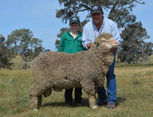 Grassy Creek Merinos top at $6000 three times, av $2383